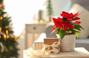 Ako docieliť, aby mala vianočná ruža čo najdlhšie červenú farbu?