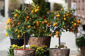 11 najčastejších otázok a odpovedí pri pestovaní citrusov