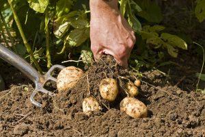 Vyberanie zemiakov