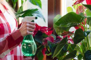 Rosenie izbových rastlín