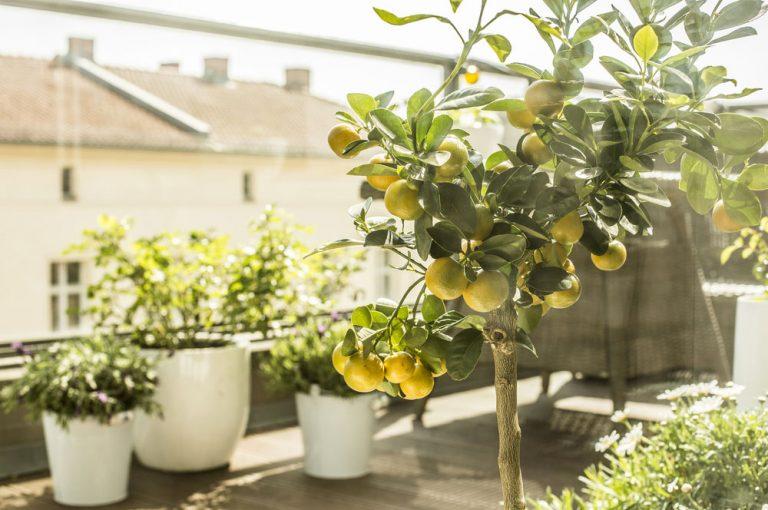 Ako pestovať citrusy v domácich podmienkach? Toto zabezpečí úspech!
