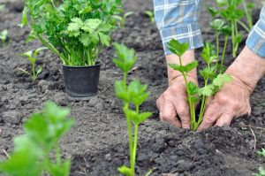 Výsadba priesad zeleru na záhon