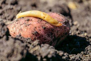 Slizniak na zemiaku
