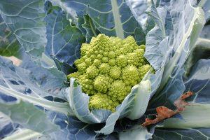 Brokolica Romanesco