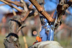 Pestujete vinič ako zástenu? Práve teraz ho treba takto orezať