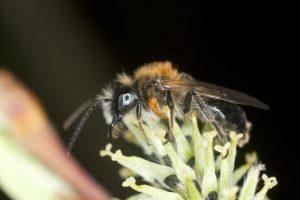 Larva májky na včele samotárke