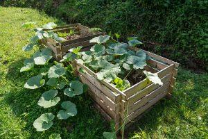 Prečo a ako sadiť tekvice do kompostu?