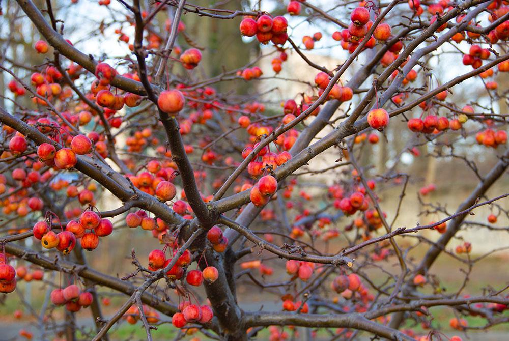 Okrasná jabloň