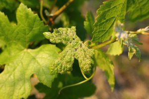 akarinoza vinica
