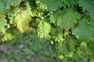 erinoza vinica2