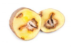 fomova hniloba zemiakov