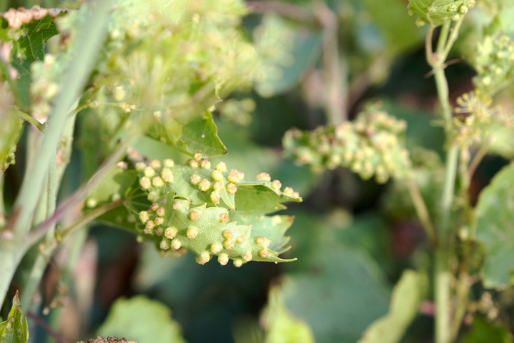 fyloxera vinicova