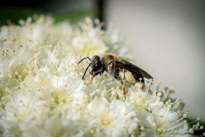 Samotárska včela