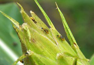 kukuriciar korenovy