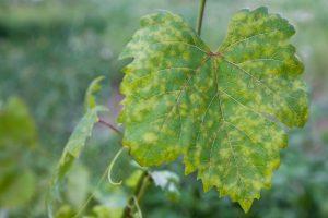 perenospora vinica