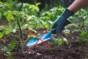 Pestujeme paradajky bez priemyselných hnojív: Aké predplodiny použiť?
