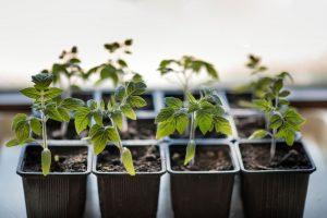 Mladé priesady paradajok