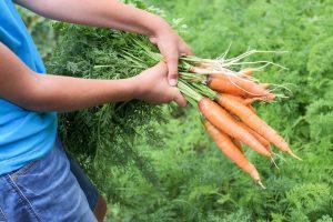 Zväzok mrkvy a petržlenu v rukách