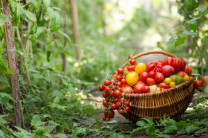 Ako pestovať rajčiny bez chémie