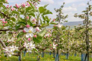Kvitnúce jablone