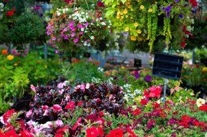 Letničky a kvety v obchode