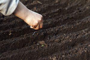 Výsev mrkvy