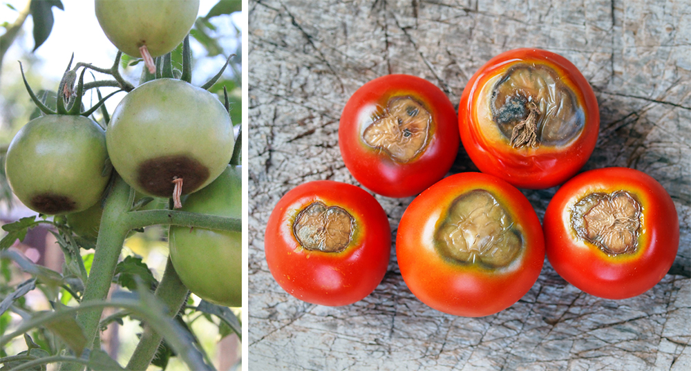 tmave skvrny paradajky