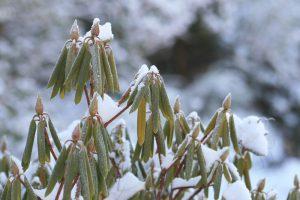 zavinovanie listov rododendronu