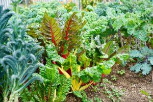 Mangold a zelenina v záhrade