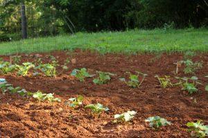 Zeleninová hriadka v záhrade