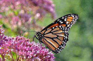 Prilákajte do záhrady motýle. Týmto rastlinám neodolajú