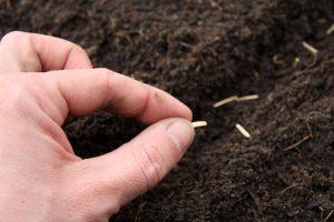 Výsev čierneho koreňa