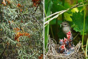 Rakytník a vtáčie hniezdo