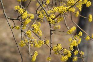 Kvitnúca drienka