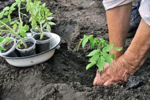 Vysádzanie priesad paradajok