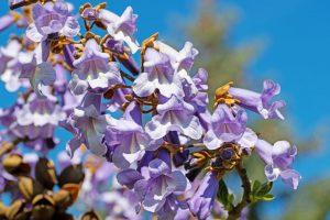 Kvety paulovnie