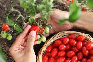 Oberanie paradajok