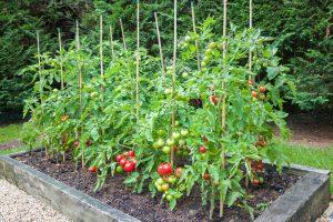 Tyčové rajčiny