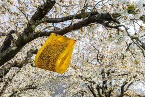 Ekologicky proti škodcom čerešní avišní