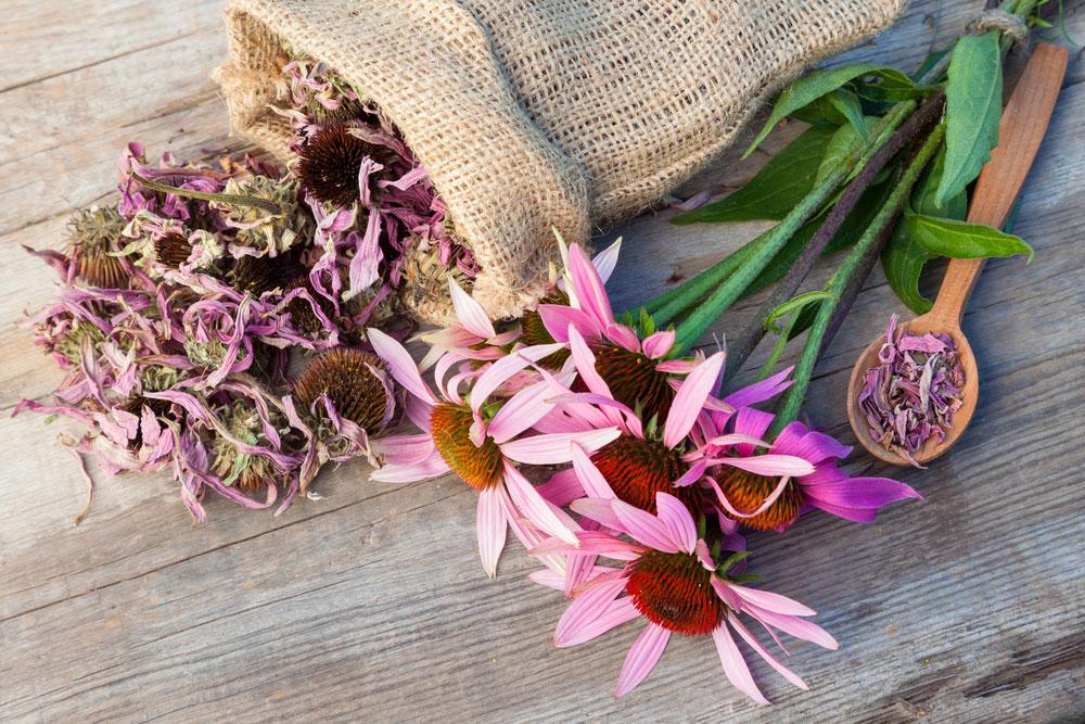 Echinacea purpurová