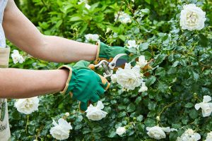 Odstrihnutie bielej ruže