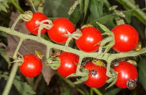 Bzdocha Nezara viridula na paradajkách (čierny chrobák na paradajkách, bzdochy na paradajkách)