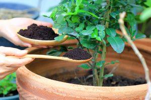 Hnojenie kávovou usadeninou