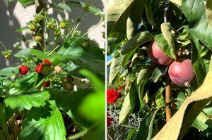 Pestovanie ovocia na balkóne