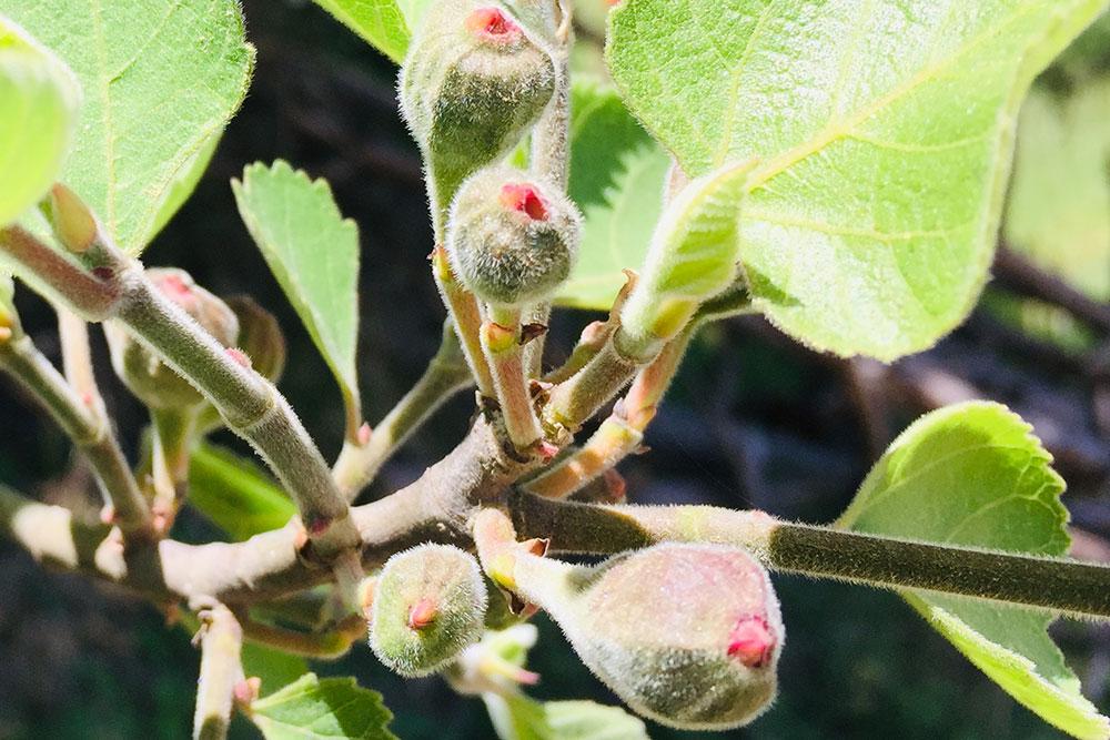 Kvety figovníka