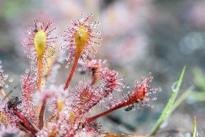 Učarovali vám mäsožravé rastliny? Tento vegetatívny spôsob ich rozmnožovania musíte vyskúšať!