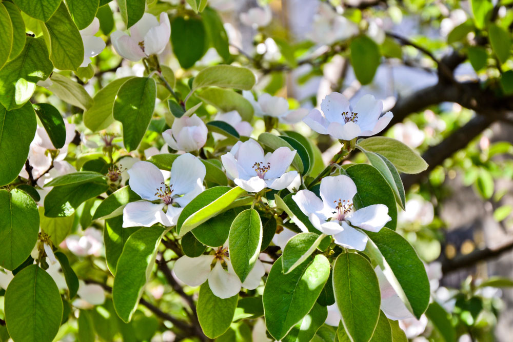 Kvitnúca dula