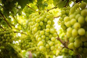 Úroda hrozna vo vinici