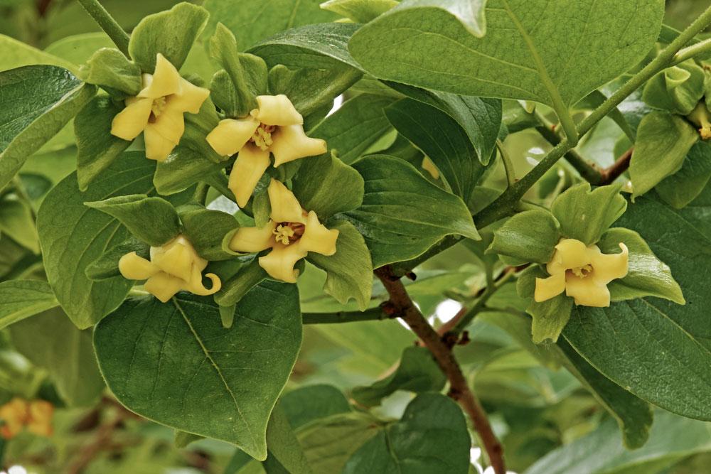 Kvety hurmikaki