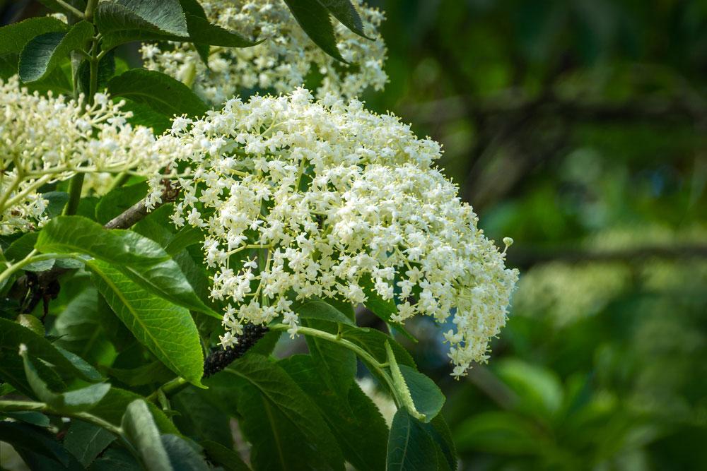 Kvitnúca baza čierna